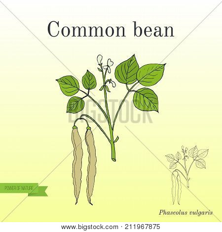 Common bean Phaseolus vulgaris , or string bean, field bean, flageolet bean, French bean, garden bean, green bean, haricot bean, pop bean, snap bean. Hand drawn botanical vector illustration