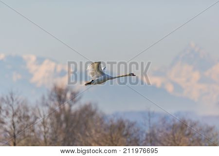 Mute Swans (cygnus Olor) In Flight, Mountains, Trees