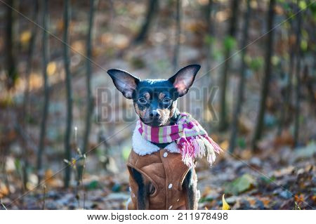 A dog a toy terrier a stylishly dressed little dog in sheepskin coat against the backdrop of late autumn. Clothes for dogs. Place for text
