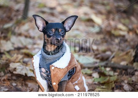 Dog a toy terrier a stylishly dressed little dog in a sweater and a sheepskin coat against the backdrop of late autumn. Clothes for dogs.
