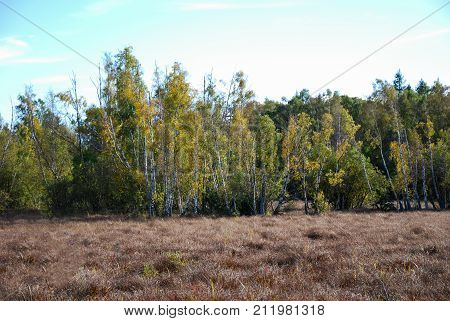 Fall colored birch trees in a sunlit wetland