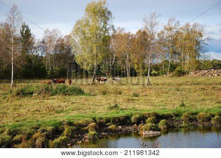 Grazing cattle by a waterhole in a fall season colored landscape