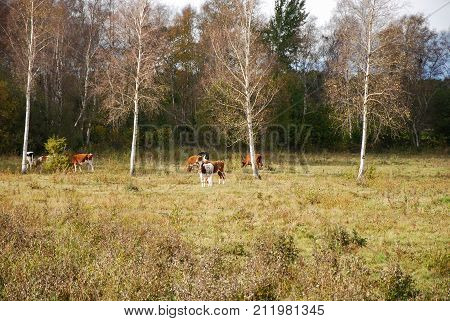 Grazing cattle at the swedish countryside by fall season