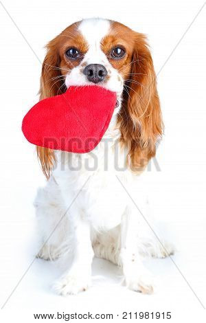 Dog with heart. Cavalier king charles spaniel valentine s day illustration. Plush red heart with spaniel puppy. Happy valentine's day Valentines day dog concept. Blenheim cavalier puppy in studio. Cute.