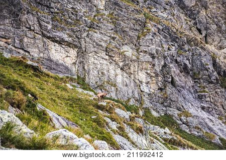 Chamois Below the Mountain in the Distance