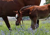 Cheeky young colt in wildflowers with mommy poster