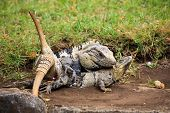 Two Mexican spiny-tailed iguanas, a male and a female during a mating period poster