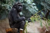Western gorilla sitting in a zoological garden poster