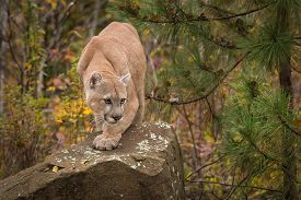Adult Male Cougar (Puma concolor) Paw Forward on Rock - captive anima