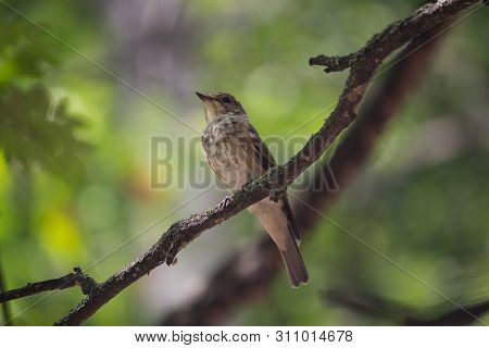 Thrush Sits On A Branch In The Forest. Birds