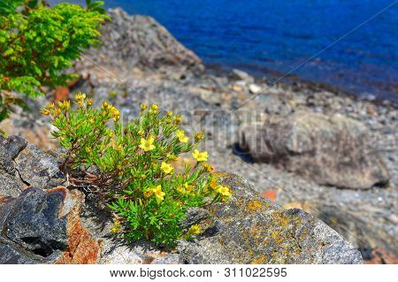 Yellow Blooms Of Shrubby Cinquefoil Dasiphora Fruticosa On The Shores Of Gander Lake, Newfoundland &