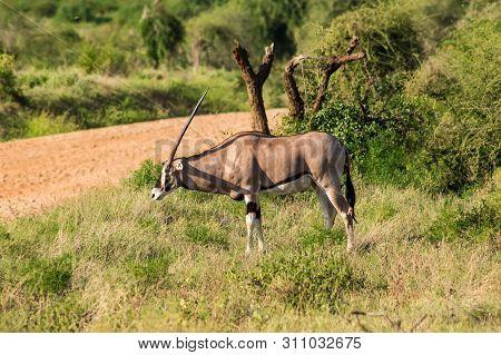 Beisa Oryx At Samburu National Reserve. A Lone Beisa Oryx In The Savannah Grassland Against A Mounta