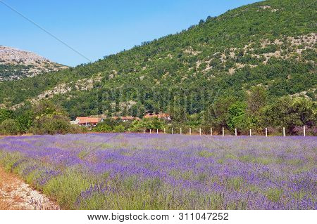 Mountain Valley Of Dinaric Alps On Sunny Summer Day. Lavender Field. Bosnia And Herzegovina, Republi
