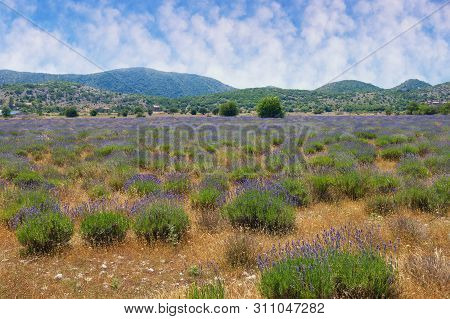 Lavender Field In Mountain Valley Of Dinaric Alps On Sunny Summer Day. Bosnia And Herzegovina, Repub