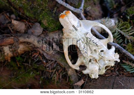 Beaver Skull On Forest Floor