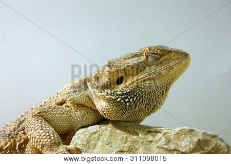 Central Bearded Dragon (pogona Vitticeps), Is A Species Of Agamid Lizard Native To Arid To Semiarid