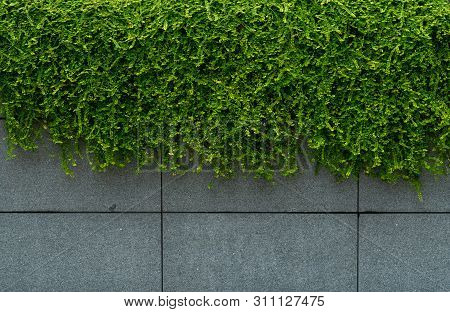 Green Leave Ivy Covered Concrete Wall Texture Background. Plant Wall For Air Purifying. Green Wall I