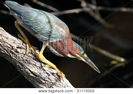Green Heron Stalking its Prey - Everglades National Park, Florida