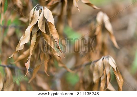 mango leaves wither, brown on the tree poster