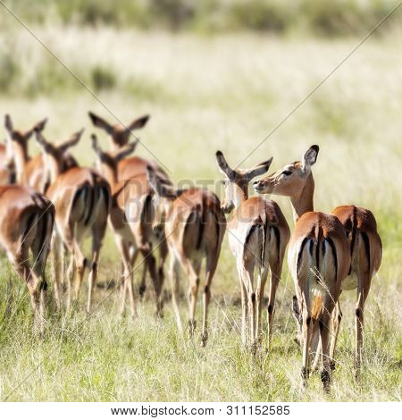 Harem of female impals in the long grass of the Masai Mara, Kenya. Selective focus on front animal.