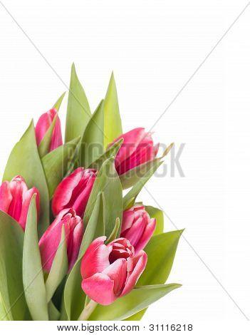 Tulips Bunch Isolated