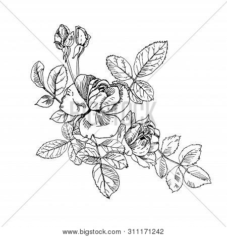 Black Ink Wild Rose Plant With Flowers And Buds Bouquet. Hand Drawn Tattoo Like Vector, Etch Style.