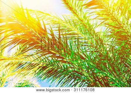 Beautiful Long Feathery Palm Tree Branches In Bright Golden Sunlight On Blue Sky Background. Vibrant