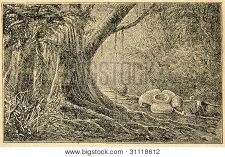 Rafflesia - gammal illustration av okänd konstnär från Botanika Szkolna na Klasy Nizsze, författare Jozef R