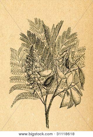 Kvist av Sappanwood - gammal illustration av okänd konstnär från Botanika Szkolna na Klasy Nizsze, myndig