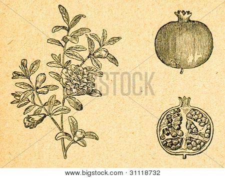Granatäpple - blommande kvist och frukt - gammal illustration av okänd konstnär från Botanika Szkolna na