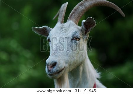 Lovely Goat Goat With Horns. Goat On Pasture