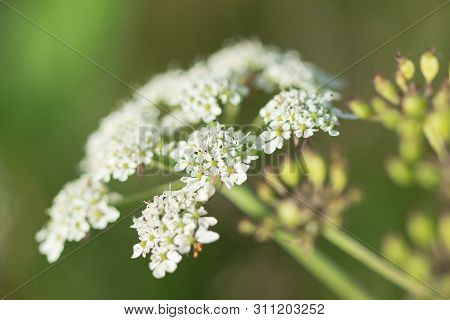 Heracleum siamicum Craib White flowers are blooming in nature.Is a popular spice used to deodorize