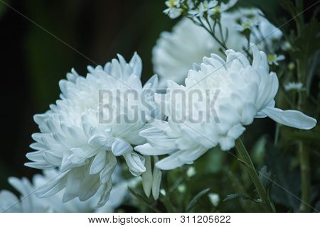 White Chrysanthemum Bouquet is a beautiful, colorful flower.