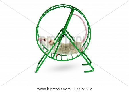 Mouse playing in an exercise wheel on a white background.