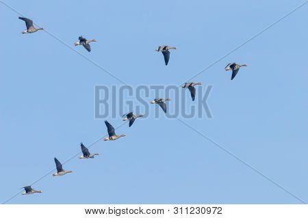 Flock Of Greater White Fronted Geese Flying In V Formation, Blue Sky