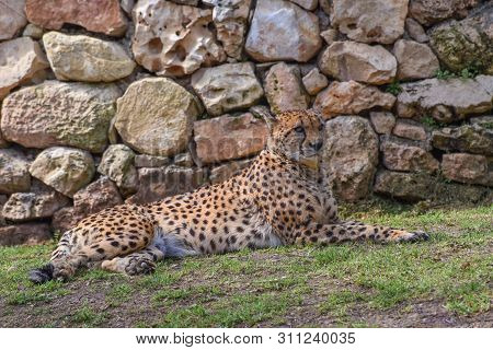 Cheetah, Acinonyx Jubatus, A Large Cat With Slender Body, A Small Rounded Head, Deep Chest, Long Thi