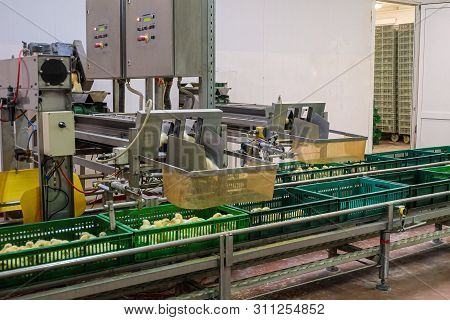 Belt conveyor for counting and sorting chicks. Conveyor line of agro-industrial hatchery. Unloading chicks into baskets. poster