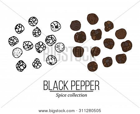Spice Collection, Black Pepper Hand Drawn. Vector Illustration