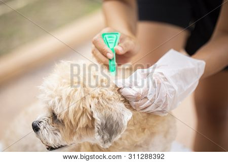 Close Up Woman Applying Tick And Flea Prevention Treatment And Medicine To Her Dog Or Pet