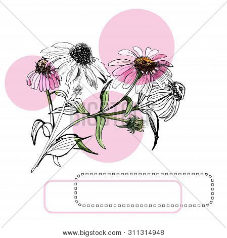 Collection  Of  Bouquets Of Pink Echinacea Flowers, Circles And Frames. Hand Drawn Ink And Colored S
