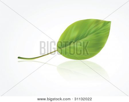 Isolated photorealistic green leaf