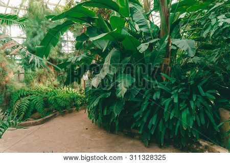 Jungle Plants (home Jungle) In The Greenhouse. Tropical Plants In The Botanical Garden.