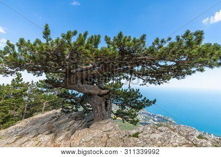 Beautiful Coniferous Tree On A Mount Ah-petri In Crimea