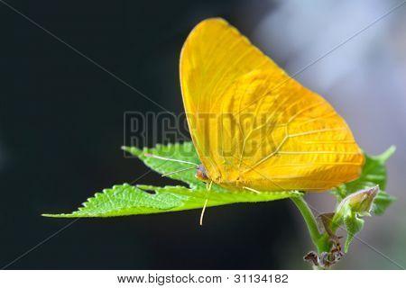 Yellow anteos cloride butterfly feeding on green leaf