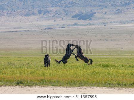 A Pair Of Wild Horse Stallions Fighting In The Utah Desert