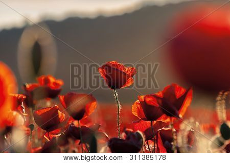 Red Poppies In The Field In Evening Light. Beautiful Nature Background With Flowers. Hill Blurred Ou