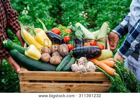 Mans Hands And Women Holding Wooden Crate Full Of Vegetables From Organic Garden. Harvesting Homegro
