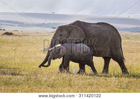 African elephants, Loxodonta Africana, mother and baby walking through the grasslands of the Masai Mara, Kenya.