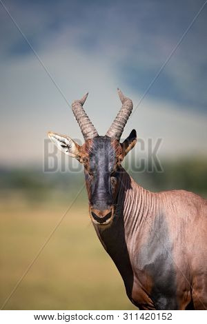 Front portrait of an adult topi in the Masai Mara, Kenya.