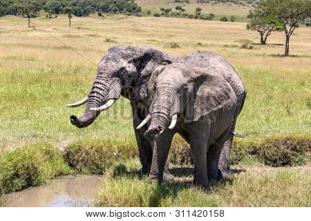 Two african elephants take a drink from a stream in the Masai Mara. They are ckaed in dried mud to help keep themselves cool.